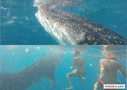 whale shark collage