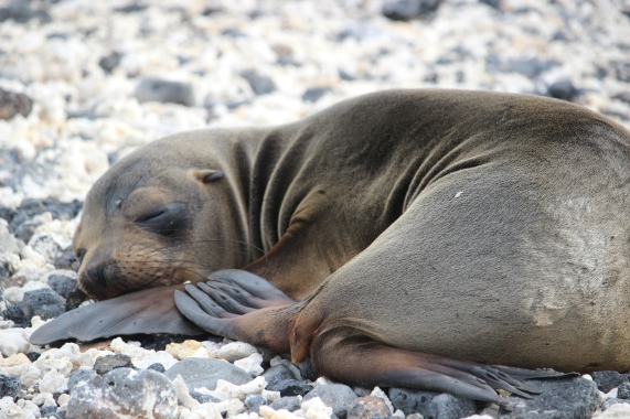 Sealion pup sleeping at Las Tintoreras